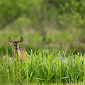 Doe Feeding On Prairie Iris, Grimes by Maresa Pryor