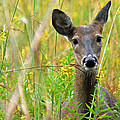 Doe In Morning Dew by Crystal Heitzman Renskers