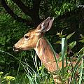 Doe In Tall Grass by Safe Haven Photography Northwest