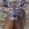 Doe Portrait by William Bitman