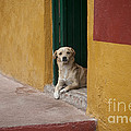 Dog In Colorful Mexican City by John Shaw