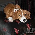 Dog - Mr. Oliver Relaxing by Maureen Tillman