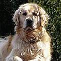 Dog On Guard by Susan Savad