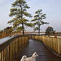 Shiba Inu On Path by Amy Jackson