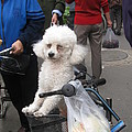 Doggie In The Basket by Alfred Ng