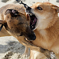 Dogs Fight On The Beach In Emerald by David Zentz
