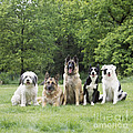 Dogs, Various Breeds In A Line by John Daniels
