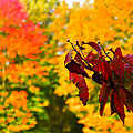 Dogwood And Fall Colors by Nick Kirby