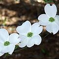 Dogwood by Andrea Anderegg