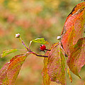 Dogwood Berrie by Nick Kirby