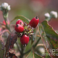 Dogwood  Berries by Luv Photography