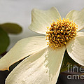 Dogwood Bloom by Alice Cahill