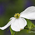 Dogwood Blossom - D001797 by Daniel Dempster