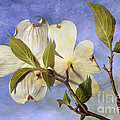Dogwood Blossoms And Blue Sky - D007963-b by Daniel Dempster