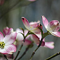 Dogwood Blossoms by Heather Applegate