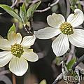 Dogwood Blossoms by Kenny Bosak