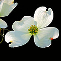Dogwood Blossoms Painted For Jerry by Kristin Elmquist