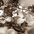 Dogwood Blossoms by Sharon Popek