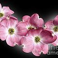 Dogwood Blossoms by Tony Cordoza