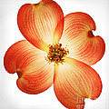 Dogwood Flower by Robert Woodward