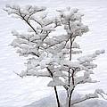 Dogwood In Snow by Guy Shultz