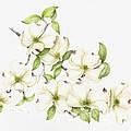 Dogwood In Spring by Fran Henig