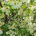Dogwood Kissed By The Sun by Becky Lupe