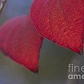 Dogwood Leaves In Fall by Fred Ziegler