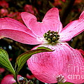 Dogwood Shows Pink by Susan Garren