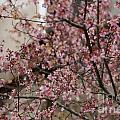 Dogwood Starting To Bloom by Dale Powell