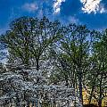 Dogwoods And Dramatic Sky by Karen Saunders