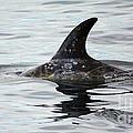 Dolphin In Monterey by Steven Baier