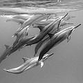 Dolphin Pod by Sean Davey