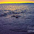 Dolphins At Sunset by Loretta Jean Photography