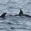 dolphins in Panama by Rudi Prott