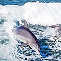 Dolphins Jumping by Aimee L Maher ALM GALLERY