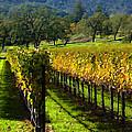 Domaine Chandon Vineyard by Ann Nunziata
