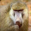Dominant Male Baboon by Amanda Stadther