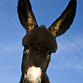 Donkey Foal by Jean-Louis Klein and Marie-Luce Hubert