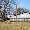Donkey Lebanon In Oklahoma by Amy Hosp