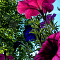 Donna's Blooming Petunias by Thomas Woolworth