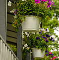 Donna's Petunias by Thomas Woolworth