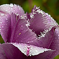 Dont Call Me A Monster Just Because I Have Teeth Purple Tulip by Eti Reid