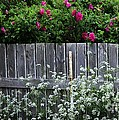 Don't Fence Me In - Wild Roses - Old Fence by Barbara Griffin