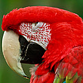 Dont You Dare To Stare Macaw by Eti Reid