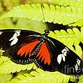Doris Longwing Butterfly by Millard H. Sharp