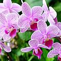 Doritaenopsis Flower by Jeelan Clark