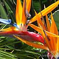 Double Bird Of Paradise - 1 by Mary Deal