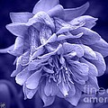 Double Columbine In Blue by J McCombie