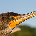 Double-crested Cormorant by Doug McPherson